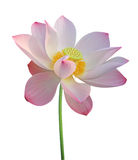 Lotus flower isolated on white Stock Photography