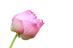 lotus flower isolated on white Royalty Free Stock Photography