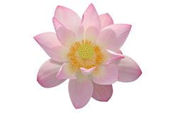 Lotus flower isolated on white background Stock Image
