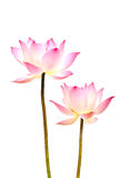 Lotus. Flower. Isolated with a white background Stock Image
