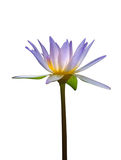 lotus flower isolated on white background Royalty Free Stock Image