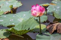 Lotus Flower IV fotografia stock libera da diritti