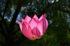Lotus flower at Japanese garden, Kyoto Japan. Stock Photo