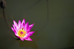 Lotus Flower On Lake Stock Images