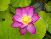 Lotus flower in the lake. Royalty Free Stock Photo