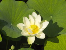 Lotus flower in the lake. Stock Photos