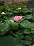 Lotus flower in the lake royalty free stock photo