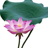 Lotus flower and leaf. A isolated beautiful pink lotus(water lily) flower and leaf in white background stock image