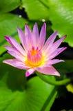 Lotus. Flower lotus and leaf Stock Image