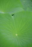 Lotus flower leaf Stock Photo