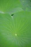 Lotus flower leaf Stock Photo