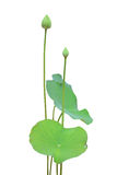 Lotus flower. And leaf isolated on white background Royalty Free Stock Images
