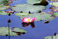 Lotus flower and leaf Royalty Free Stock Images
