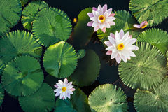 Lotus Flower and leaf in Pond water surface Top view outdoor. Sunlight Stock Photography