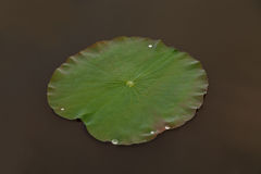 Lotus flower leaf Stock Photos