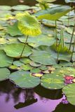 Lotus flower leafs and lotus flower plants on reflection of water garden. Royalty Free Stock Photography