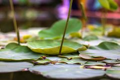 Lotus flower leafs and lotus flower plants with a little Insect on reflection of water. Stock Photo