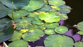 Lotus flower leafs and lotus flower plants on reflection of water garden. Stock Images