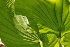 Lotus Flower Leaves royaltyfri foto