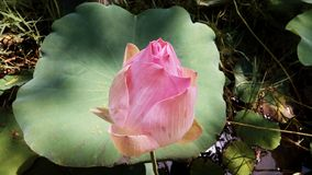 Lotus Flower Leaves images libres de droits
