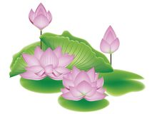 Lotus Flower with Leaves. Blooming pink lotus flowers with big green leaves Royalty Free Stock Image