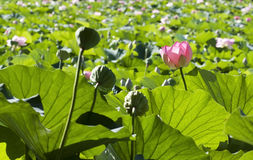 Lotus flower - RAW format Stock Photos