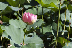 Lotus flower - RAW format Royalty Free Stock Photos