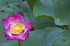 Lotus flower and leaves. Lovely pink blossom lotus flower and green leaves Royalty Free Stock Images