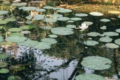 Lotus flower and leaves in a pond stock photos