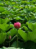 Lotus flower and leaves in pond in summer Royalty Free Stock Images