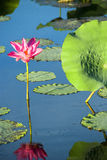 Lotus flower. And leaves reflected in still waters Stock Image