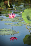 Lotus flower. And leaves reflected in water Stock Images