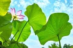 Lotus flower and leaves Stock Image
