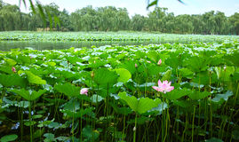 Lotus flower and leaves Stock Images