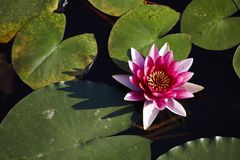 Pond lily flower Royalty Free Stock Images