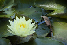 Lotus flower on lilly pads Stock Photo