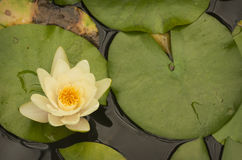 Lotus flower on lilly pads Royalty Free Stock Images