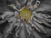 Lotus flower. Bloom royalty free stock photography