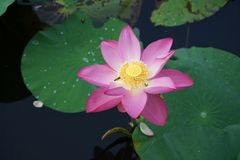 Lotus flower. And leaf in pond stock photo