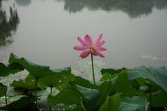 Lotus flower. And leaf with raindrop in pond stock image