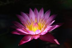 Lotus, flower. Lotus flower, pinklotus, close up, water lily, garden, background, light and shadow, plant life royalty free stock photos