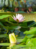Lotus flower and Lotus flower plants. Stock Photos