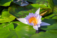 Lotus flower and Lotus flower plants. Stock Photo