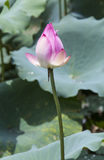 lotus flower and Lotus flower plants Stock Photography