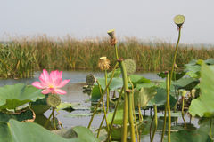 Lotus flower and Lotus flower plants. Pink lotus flower and Lotus flower plants Royalty Free Stock Photography