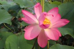 Lotus flower and Lotus flower plants. Pink lotus flower and Lotus flower plants Royalty Free Stock Photos