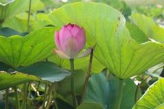 Lotus flower and Lotus flower plants. Pink lotus flower and Lotus flower plants Stock Photos