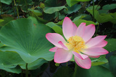 Lotus flower and Lotus flower plants. Pink lotus flower and Lotus flower plants Stock Image