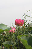 Lotus flower and Lotus flower plants. Pink lotus flower and Lotus flower plants Royalty Free Stock Images