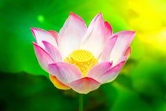 Lotus flower and Lotus flower plants Royalty Free Stock Image